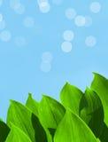 Fogli verdi di estate sulla priorità bassa del cielo blu Immagine Stock Libera da Diritti