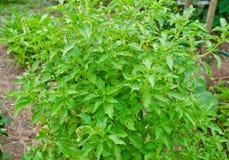 Fogli verdi freschi del basilico Immagine Stock