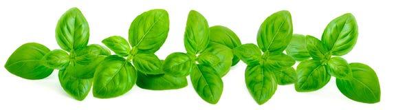 Fogli verdi freschi del basilico su priorità bassa bianca Confine franco Immagine Stock Libera da Diritti