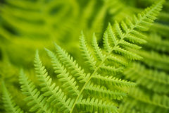 Fogli verdi freschi della felce Immagine Stock Libera da Diritti