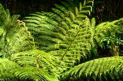 Fogli verdi freschi della felce Primo piano Fotografia Stock