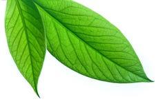 Fogli verdi su una priorità bassa bianca Immagini Stock