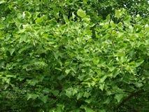 Fogli verdi sull'albero immagini stock libere da diritti