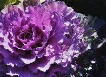 foglia all'aperto del fiore di bellezza di giorno di colore del cavolo di luce solare del giardino porpora del primo piano Immagini Stock