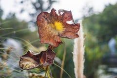 Foglia appassita del loto di marrone giallo immagine stock