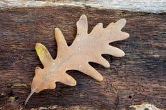 Foglia appassita della quercia disposta in un tronco di legno Immagini Stock Libere da Diritti