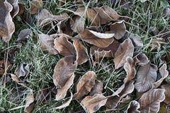 Foglia appassita su erba verde nell'ambito del gelo di mattina Fotografia Stock