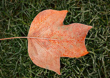 Foglia arancio congelata di un albero di tulipano Fotografia Stock Libera da Diritti