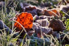 Foglia arancio del faggio su erba verde nell'ambito del gelo di autunno Fotografia Stock Libera da Diritti