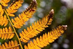 Foglia arancio della felce Fotografie Stock
