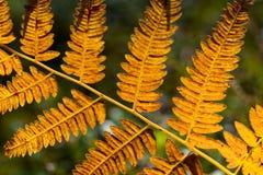 Foglia arancio della felce Fotografia Stock Libera da Diritti