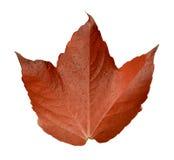 Foglia arancio isolata della foglia Fotografia Stock Libera da Diritti