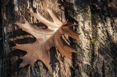 Foglia asciutta della quercia Fotografia Stock