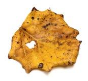 Foglia asciutta della tremula di tremito di autunno fotografie stock