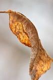 Foglia asciutta di autunno su un brunch dell'albero Fotografie Stock