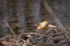 Foglia asciutta singolare che galleggia in acqua tranquilla, in cima a fogliame marrone incavato immagini stock