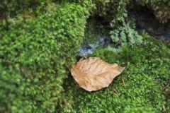 Foglia asciutta sul lichene Immagine Stock