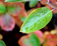 Foglia bagnata di autunno con le gocce di rugiada della pioggia ed i colori felici morbidi Fotografia Stock