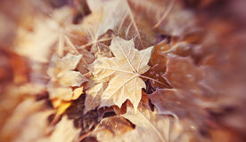 Foglia caduta autunno di un acero Fotografia Stock