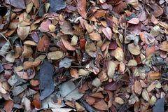 Foglia caduta del tek su terra, concimante con la composta le foglie di caduta, biomassa e pacciame, materiale organico immagine stock libera da diritti