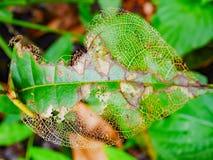 Foglia che un verme è stato mangiato Fotografia Stock