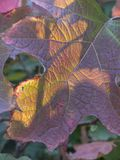 Foglia con i colori tipici di autunno La foglia splende con luce solare i Immagine Stock