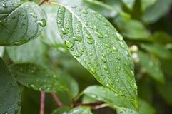 Foglia con le gocce di pioggia Fotografie Stock