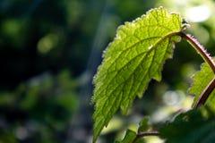 Foglia con luce solare nella foresta immagini stock libere da diritti