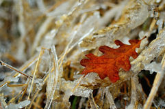 Foglia congelata della quercia e dell'erba Immagini Stock