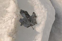 Foglia congelata nel ghiaccio Immagini Stock