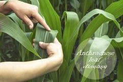 Foglia d'esame del cereale sul campo Immagine Stock Libera da Diritti