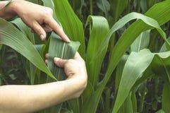Foglia d'esame del cereale sul campo Immagini Stock Libere da Diritti