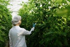 Foglia d'esame della pianta dell'ingegnere della donna di biotecnologia immagine stock libera da diritti