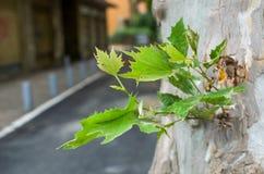 Foglia da un tronco di albero in città Fotografia Stock Libera da Diritti