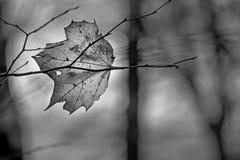 Foglia decomposta trasparente di autunno dell'acero che si trova sul branc nudo immagini stock
