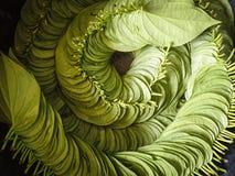 Foglia del betel Immagini Stock