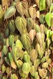 Foglia del betel della foresta sull'albero Fotografie Stock