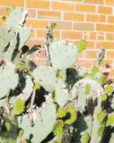 Foglia del cactus della R Fotografia Stock Libera da Diritti