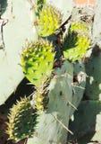 Foglia del cactus della R Fotografia Stock