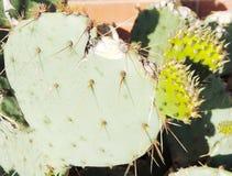 Foglia del cactus della R Fotografie Stock