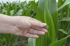 Foglia del cereale dell'esame, scena rurale di agricoltura fotografia stock libera da diritti