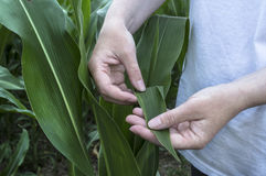 Foglia del cereale dell'esame Scena rurale di agricoltura fotografia stock