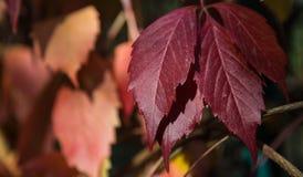 Foglia del chiaretto dell'uva Immagini Stock