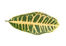 Foglia del Croton - verde fotografia stock