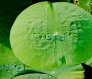 Foglia del fiore di Lotus sulla superficie pacifica della libbra Fotografia Stock Libera da Diritti