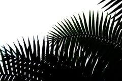 Foglia del fondo in bianco e nero della palma fotografie stock libere da diritti