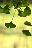 Foglia del ginkgo Fotografia Stock