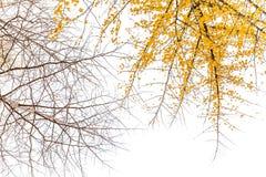 Foglia del ginkgo fotografie stock libere da diritti
