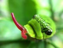 Foglia del limone che mangia Caterpillar Immagine Stock