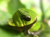 Foglia del limone che mangia Caterpillar Fotografia Stock